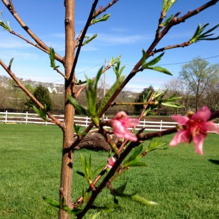Blossoms on the peach tree before the freeze.